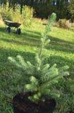 jedlinowy drzewo Zdjęcia Royalty Free