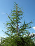 jedlinowy drzewo Zdjęcia Stock