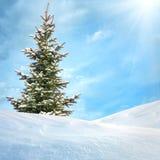 jedlinowy drzewo Fotografia Stock