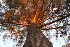 Jedlinowy drzewo Obrazy Stock