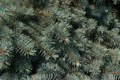 Jedlinowy drzewo Zdjęcie Stock
