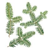 Jedlinowy drzewo Abies sibirica gałąź odizolowywa na białym tle fotografia royalty free