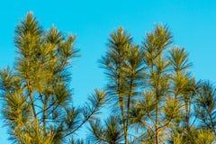 Jedlinowy drzewo - Akcyjny wizerunek Fotografia Stock