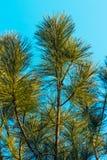 Jedlinowy drzewo - Akcyjny wizerunek Obraz Royalty Free
