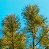 Jedlinowy drzewo - Akcyjny wizerunek Zdjęcie Stock