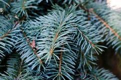 Jedlinowy drzewo, tło dla boże narodzenie projekta Zdjęcie Stock
