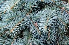 Jedlinowy drzewo, tło dla boże narodzenie projekta Fotografia Stock
