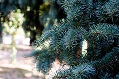 Jedlinowy drzewo, tło dla boże narodzenie projekta Zdjęcie Royalty Free