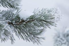 Jedlinowy drzewo w zimie Obrazy Royalty Free