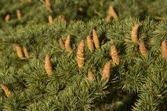 Jedlinowy drzewo z rożkami Zdjęcie Stock
