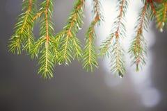 Jedlinowy drzewo z rosą Obrazy Royalty Free