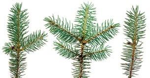 jedlinowy gałęziasty zamknięty jedlinowy drzewo Obrazy Royalty Free