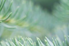 jedlinowy gałęziasty zamknięty jedlinowy drzewo abstrakcjonistyczna makro- widok choinka Zdjęcia Stock