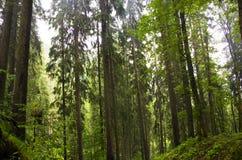 jedlinowy las Zdjęcia Stock