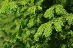 jedlinowy las Obrazy Stock