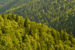 jedlinowy las Obrazy Royalty Free