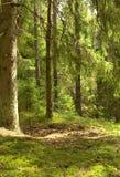 jedlinowy lasowy drzewo Obrazy Stock