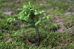 jedlinowy mały drzewo Zdjęcie Stock