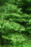 jedlinowy tła drzewo Obrazy Stock
