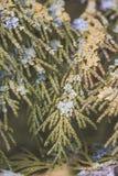 jedlinowy zamknięty jedlinowy drzewo Fotografia Royalty Free