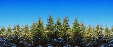Jedlinowych drzew tło Zdjęcia Stock