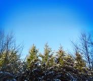 Jedlinowych drzew tło Zdjęcie Royalty Free