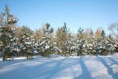 Jedliny w zima lesie Zdjęcia Royalty Free