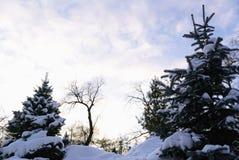 Jedliny Zakrywać z śniegiem i zimy niebo, Fotografia Royalty Free