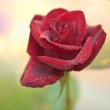 jedna czerwona róża Zdjęcia Royalty Free