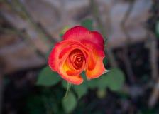 jedna czerwona róża zdjęcie stock