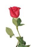 jedna czerwona róża Fotografia Royalty Free