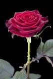 jedna czerwona róża obraz stock