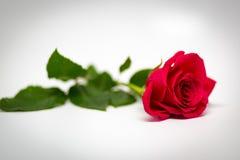 jedna czerwona róża Obrazy Stock