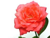 jedna róża Zdjęcia Royalty Free