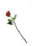 jedna róża Zdjęcie Royalty Free