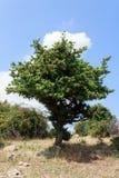 jedno drzewo Fotografia Stock