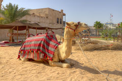 jednoczący Dubai arabscy wielbłądzi emiraty zdjęcia stock