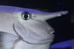 Jednorożec ryba Obrazy Stock