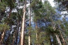 Jednowiekowy las Obrazy Stock