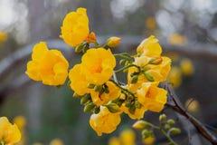 Jedwabniczej bawełny drzewa kwiaty Fotografia Stock