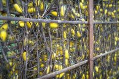 Jedwabniczej dżdżownicy kokony w gniazdeczkach Obraz Stock