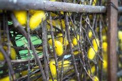 Jedwabniczej dżdżownicy kokony w gniazdeczkach Zdjęcia Royalty Free
