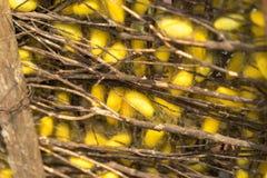 Jedwabniczej dżdżownicy kokony w gniazdeczkach Zdjęcie Stock