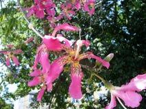 Jedwabniczy floss drzewa kwiaty Obraz Royalty Free