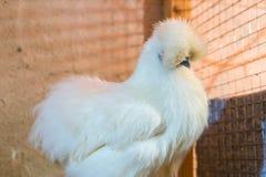 Jedwabniczy kurczak w kurczak klatce household fotografia stock