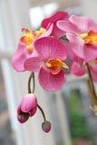 Jedwabniczy orchidea kwiaty Zdjęcie Stock