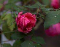 Jedyny wzrastał wokoło otwierać od ogródu Fotografia Royalty Free