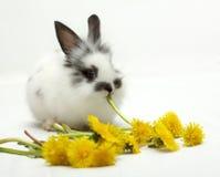 jedzą małego królika mleczy Zdjęcia Royalty Free