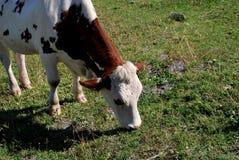jedzących krowy Obrazy Stock