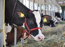 jedzących krowy Fotografia Royalty Free